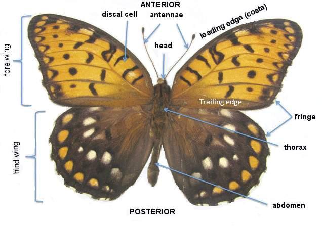 Lepidoptera Odonata Web Atlas: Glossary